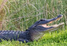 Watch how an alligator attacks a kayak in North Carolina Waccamaw River