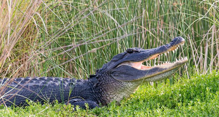 alligator attacks kayak north carolina waccamaw river alligator