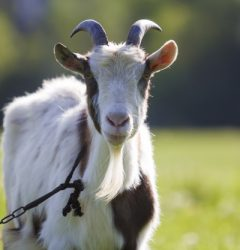 Eid-al-Adha or Bakra Eid 2020: Know History, Prayer, Meat Distribution, Sacrificing animal