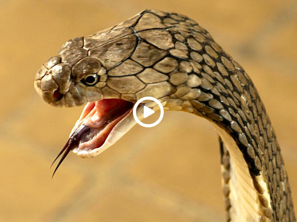 10 most poisonous snakes