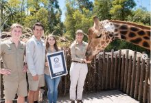 Giraffe names Guinness Record: 12-year-old giraffe tallest with 18 feet 8 inches height