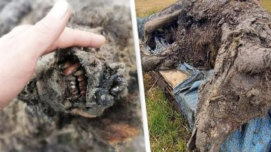 Photo of Ice Age cave bear found by Reindeer herders in Arctic Russia